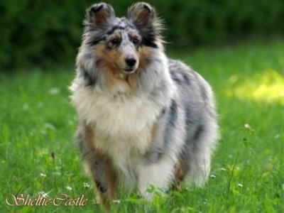 http://www.sheltie-castle.at/Daylight%20Entwicklung.html