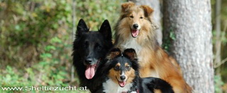 www.sheltiezucht.at
